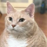 おデブ美猫「ブロンソン」がポチャかわいい!ただいまダイエット中!