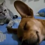 Dog_Sleep_Farting_Makes_Cat_Angry