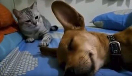 【動画】「何があったの??」幸せそうに眠る犬にいきなり猫パンチする猫がひどい