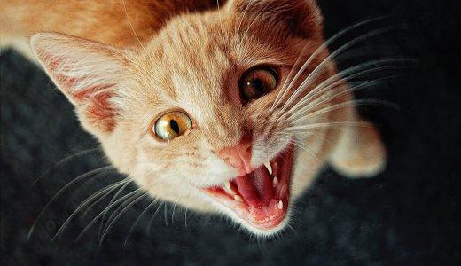 某猫カフェでの感染で話題!猫パルボウイルスってなに?猫パルポウイルスの特徴まとめ