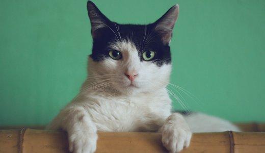 猫ちゃんがいつも空腹そうなのはなぜ?頻繁にエサを欲しがる猫ちゃんの理由